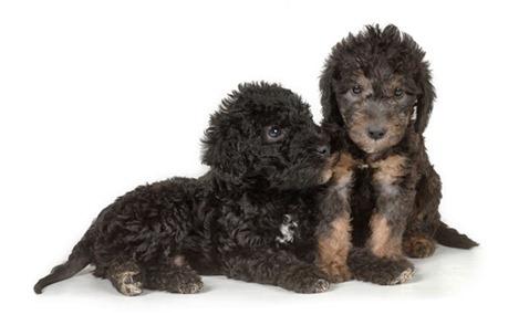 Bedlington-Terrier-5-645mk070111