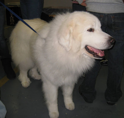 A fluffy Great Pyrenees