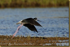 Black-necked Stilt  _ROT4168   NIKON D3S June 04, 2011