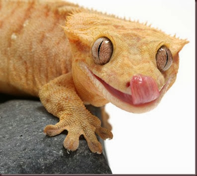 Amazing Animal Pictures crested geckos (11)