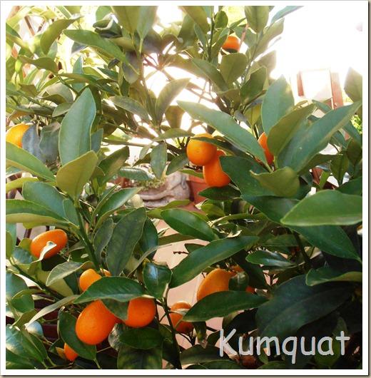 kumquat 4