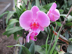 Phalaenopsis are one of the longest blooming orchid genera producing flowers that last from 2 to 6 months before dropping!