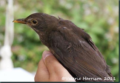 9 ringing blackbird-3