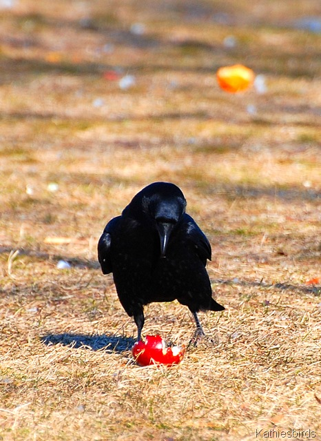 7. a crow figures it out-kab