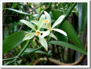 vanillaorchid
