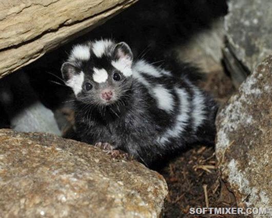western-spotted-skunk_0006