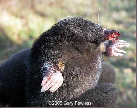 Amazing Animal Pictures Star Nosed Mole (8)