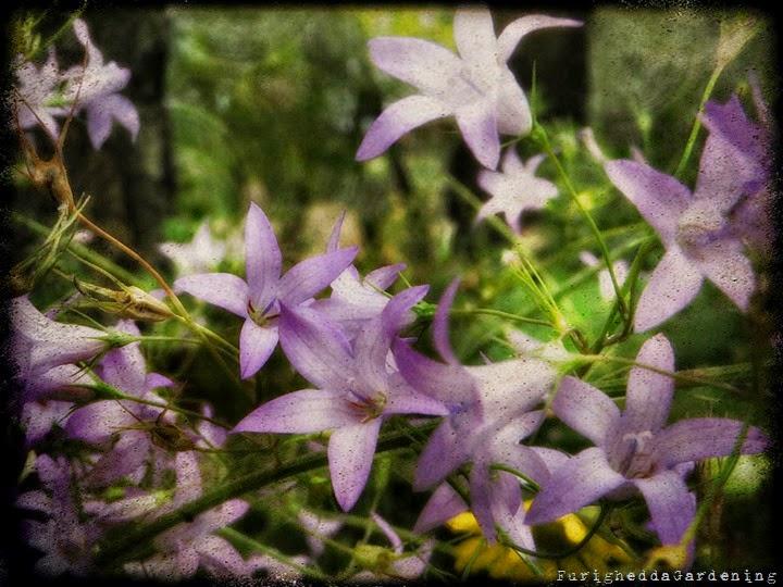 campanula, wild garden, dry garden, botanical
