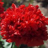 Papaver somniferum 'Paeoniflorum' - Pavot à fleur de Pivoine