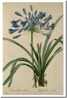 vintage_botanical_blue_agapanthus_poster-r8feb3f46dec04c4685096be100f1bcb2_refz_400