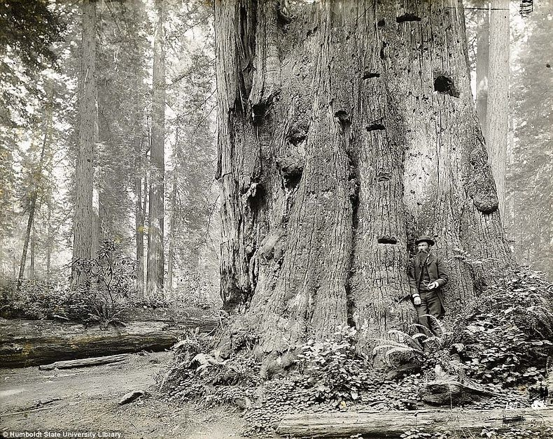 lumberjacks-redwood-4