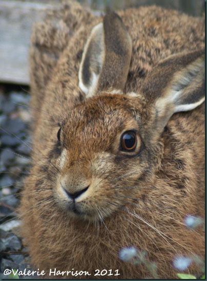 hare-closeup-2