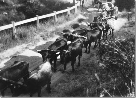 Bullock Dray Kempsey Road 1920s