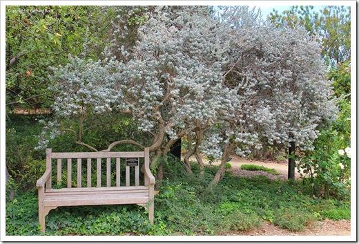 130902_UCD_Aboretrum_StorerGarden__Leucophyllum-frutescens
