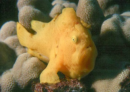 Amazing Pictures of Animals, Photo, Nature, Incredibel, Funny, Zoo, Warty frogfish, clown frogfish, Antennarius maculatus, Alex (3)