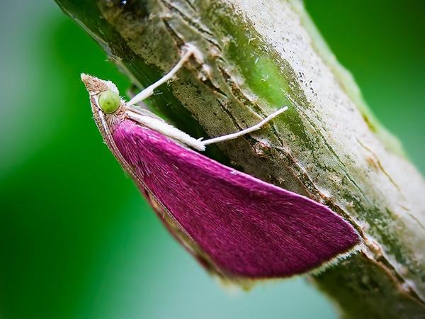 pink moth_02