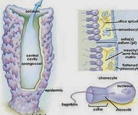choanocytes-porifera-sponges