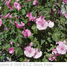 'Lavatera' photo (c) 2005, B.G.Z. Olson - license: http://creativecommons.org/licenses/by-nd/2.0/