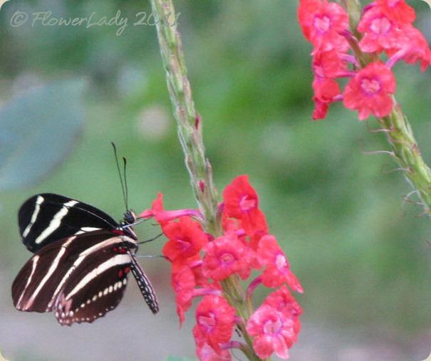 11-28-zebra3