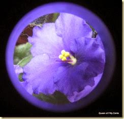 African violets 3