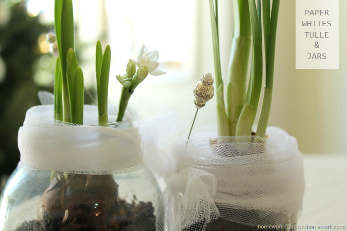 Paperwhites in Jars via homework ~ carolynshomework (13)