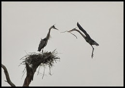 Nature - Great Blue Heron Nest