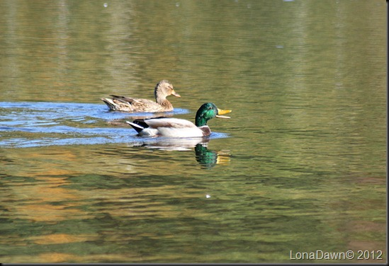 Lake_Alma_Mallards_2012