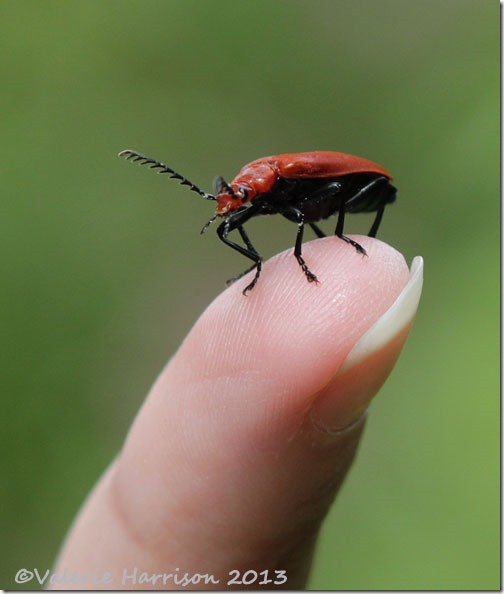 15 red-headed-cardinal-beetle-3