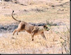 October 24, 2012 lion running