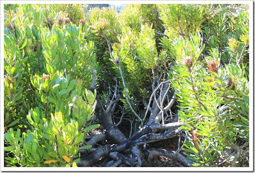 121027_UCSCArboretum_Protea-obtusifolia_03