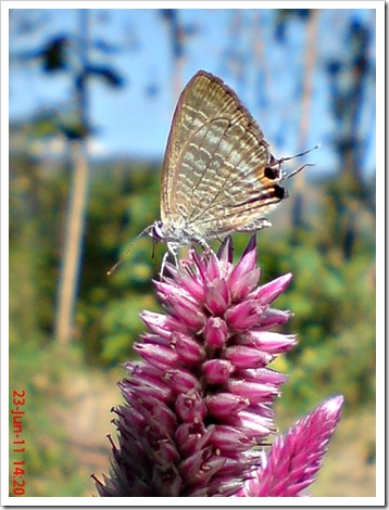 The Peablue, Pea Blue, or Long-tailed Blue (Lampides boeticus) 3