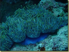 Anenome with blue skirt