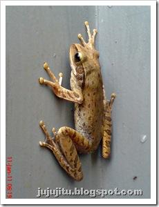 Polypedates leucomystax_Katak Pohon Bergaris_Stripped Tree Frog 4