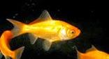 Seine poisson rouge