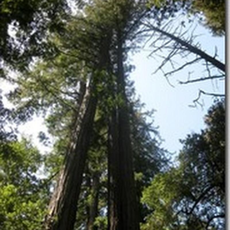 California for Children – Redwoods