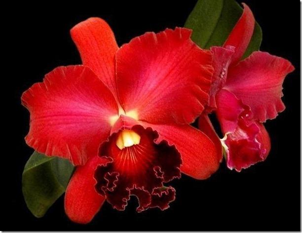 flores-facebook-tumblr-rosas-las flores-fotos de flores-725