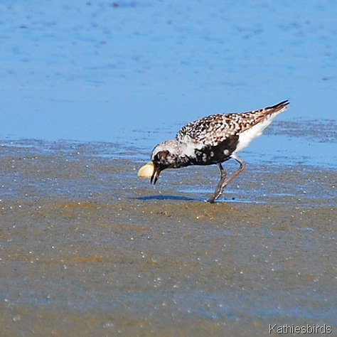 2. black-bellied plover-kab