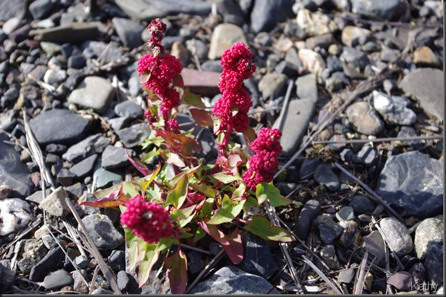 Amaranth or sorrel