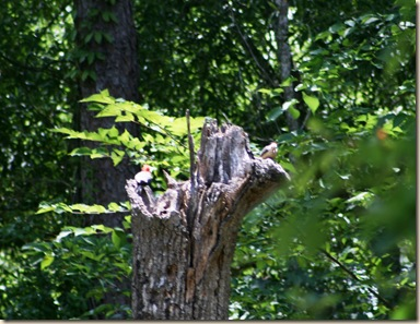 woodpeckers 2
