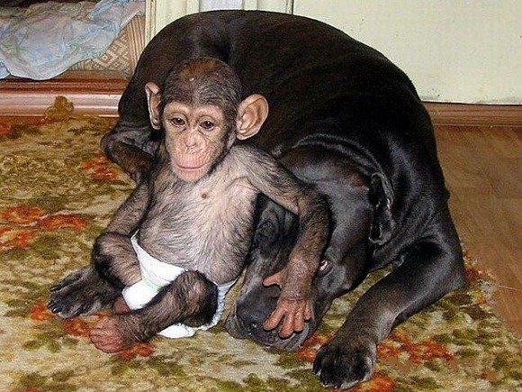 Chimpanzee Adopted By a Mastiff 08