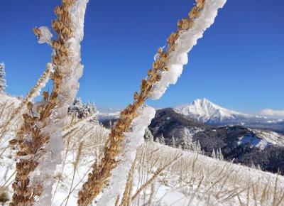 icy beargrass.JPG