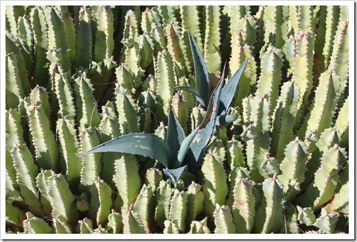 120414_RBG_Euphorbia-resinifera