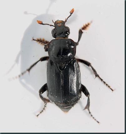 nicrophorus-humator-2