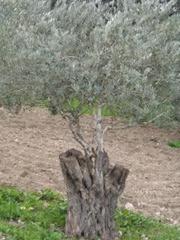 root of jesse