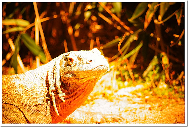 public-domain-komodo-dragon-picture (6)