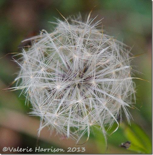 27-seedhead