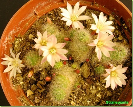 Rebutia albiflora Sin Aylostera albiflora fiori