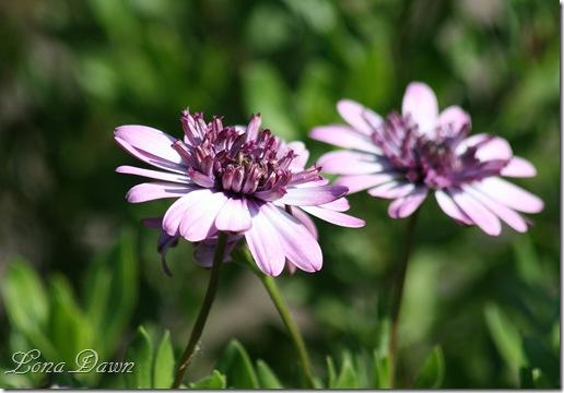 FPC_Osteospermum_Pink