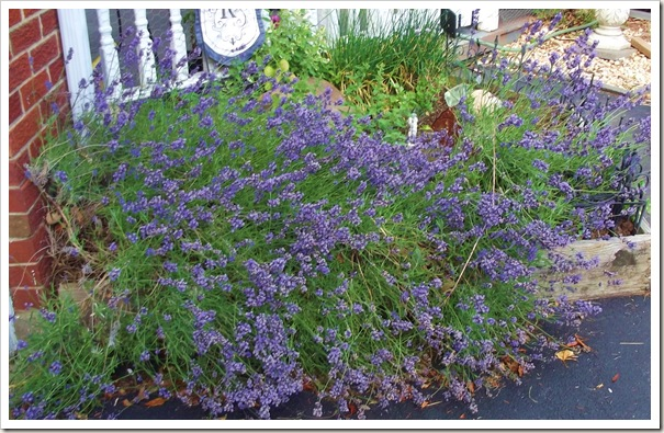 lavender 6.12 011