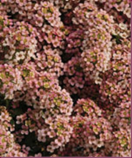 peach colored alyssum